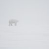 polar-bear-in-a-blizzard-in-alaska